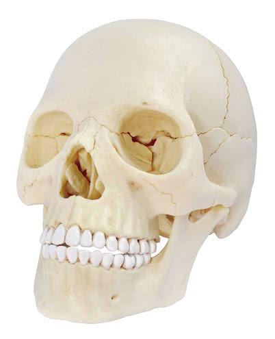 Kafatası Modeli F1144