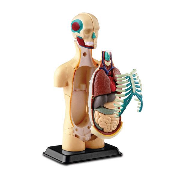 İnsan Vücudu 50 Cm 3290 Human Torso